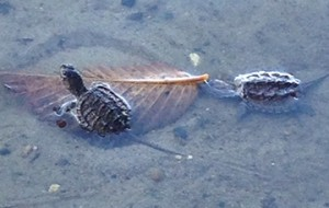 Snapping turtle photo by Gail Batt.
