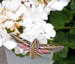 White-lined sphinx moth photo by Kelly Schultz of Albert Lea.