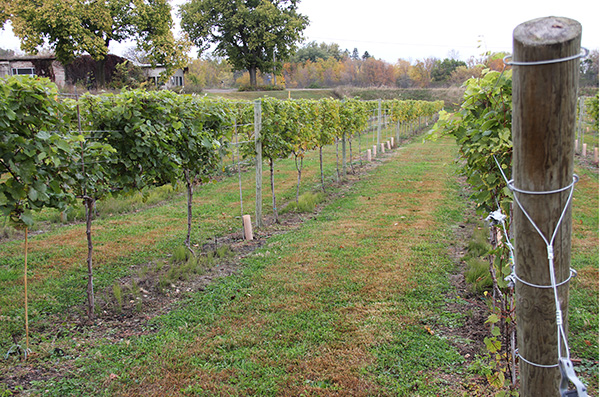Marquette grape vines line a field to the east of the former Wedge Nursery north of Albert Lea. The Three Oak Vineyards & Winery is on Freeborn County Road 101 about a mile south of the Minnesota Highway 13 interchange of Interstate 90. -- Tim Engstrom/Albert Lea Tribune