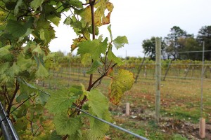 Grapes on vines at Three Oak Vineyards & Winery were picked for the first time a month ago and for the second time two weeks ago. -- Tim Engstrom/Albert Lea Tribune