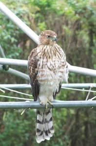 Cooper's hawk photo by Sue Olson of Albert Lea.