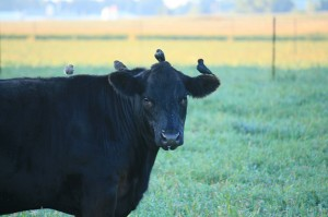 Bryce Gaudian of Hayward took this photo of cowbirds and their cow.