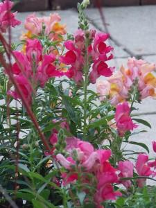 Snapdragons were still blooming as of Oct. 22 in Carol Hegel Lang's gardens.