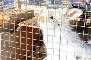 In addition to chickens, the Hendricks raise rabbits, some for show and some for meat, in their backyard.