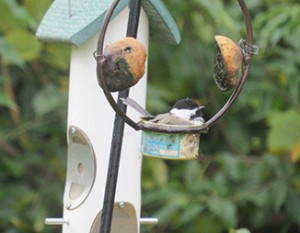 A chickadee rests in a feeder.