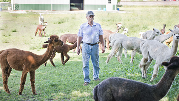 Ed Schlede and his wife, Jean, have a herd of over 70 alpacas on their property. They've been raising alpacas since 2000. – Colleen Harrison/Albert Lea Tribune