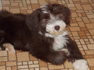 Lang's new bearded collie puppy, Roosevelt, will spend many good times in the gardens with her. – Carol Hegel Lang/Albert Lea Tribune