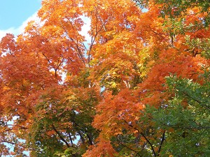 Brightly colored maples can resemble a patchwork quilt of many different colors. – Carol Hegel Lang/Albert Lea Tribune