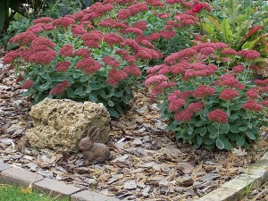"""Lang planted three sedum to give color and interest into late fall in her """"perfect garden."""" – Carol Hegel Lang/Albert Lea Tribune"""