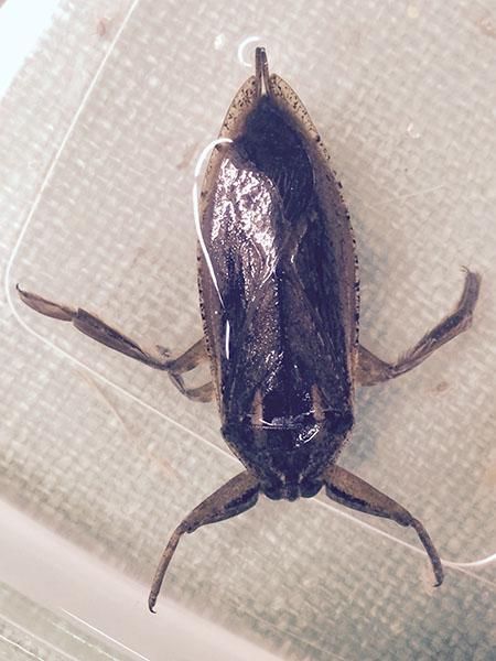 A giant water bug specimen. - Al Batt/Albert Lea Tribune