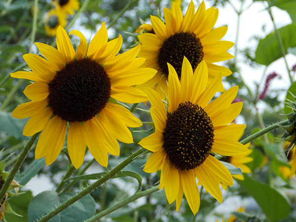Blooming sunflowers draw in goldfinch which like to steal away the seeds. - Carol Hegel Lang/Albert Lea Tribune