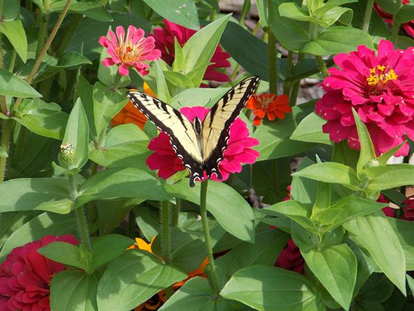 A lovely swallowtail butterfly enjoys the colorful zinnias. - Carol Hegel Lang/Albert Lea Tribune