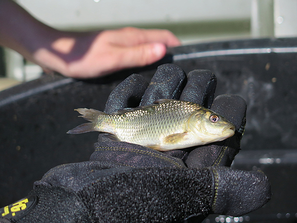 Jordan Wein of management company Carp Solutions holds a carp July 30 that hatched earlier this year at Rice Creek in Lino Lakes. Carp Solutions is inserting tiny electronic tags in carp this size to track their movement. -Elizabeth Dunbar/MPR News