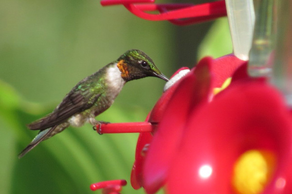 A hungry hummingbird sips from a feeder. - Al Batt/Albert Lea Tribune