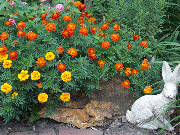 Marigolds still in bloom. Before long seeds will be collected from them to use in the garden next spring. - Carol Hegel Lang/Albert Lea Tribune