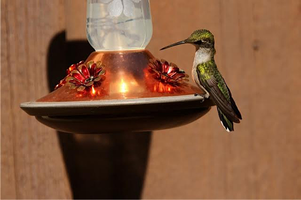 Ruth De Haan took this photo of a hummingbird on the deck of her home near Hollandale. To enter the weekly photo contest, submit up to two photos with captions that you took by Thursday each week. Send them to colleen.harrison@albertleatribune.com, mail them in or drop off a print at the Tribune office. The winner is printed in the Albert Lea Tribune and albertleatribune.com each Sunday. If you have questions, call Colleen Harrison at 379-3436. - Provided
