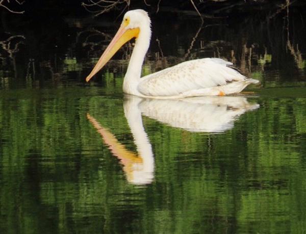 A pelican swims with his reflection. - Al Batt/Albert Lea Tribune