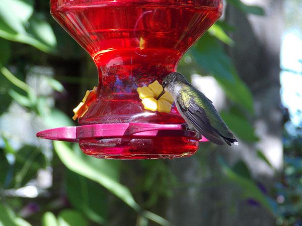 A hummingbird sipping nectar from the sugar water feeder in the September gardens. - Carol Hegel Lang/Albert Lea Tribune