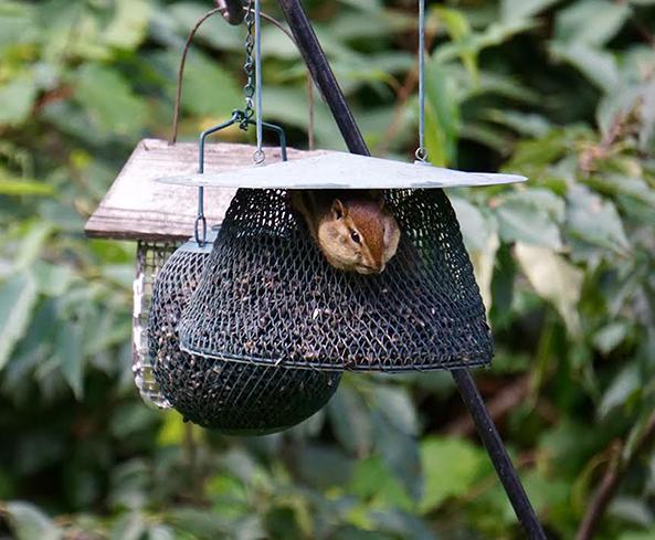 A chipmunk finds food and security in a feeder. - Al Batt/Albert Lea Tribune