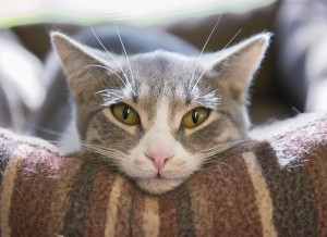 Tuesday is one of the cats currently at the Humane Society of Freeborn County. - Colleen Harrison/Albert Lea Tribune