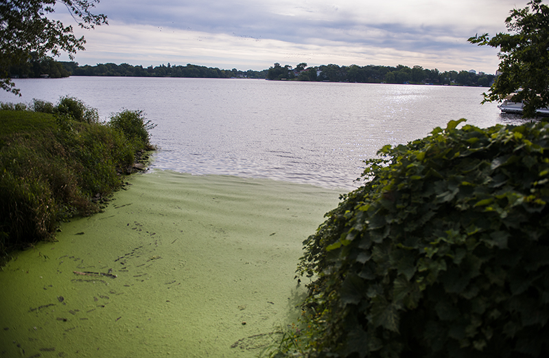 Duckweed has been seen more and more on the surface of Fountain Lake this summer. - Colleen Harrison/Albert Lea Tribune