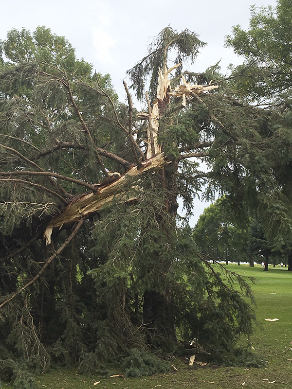 A tree was damaged during storms early Monday at Oakview Golf Course in Alden. -Rich Mirelli/Albert Lea Tribune