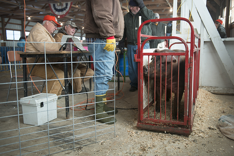 Pigs are weighed in Thursday at the Freeborn County Fairgrounds ahead of today's Minnesota State Spring Barrow Show. - Colleen Harrison/Albert Lea Tribune